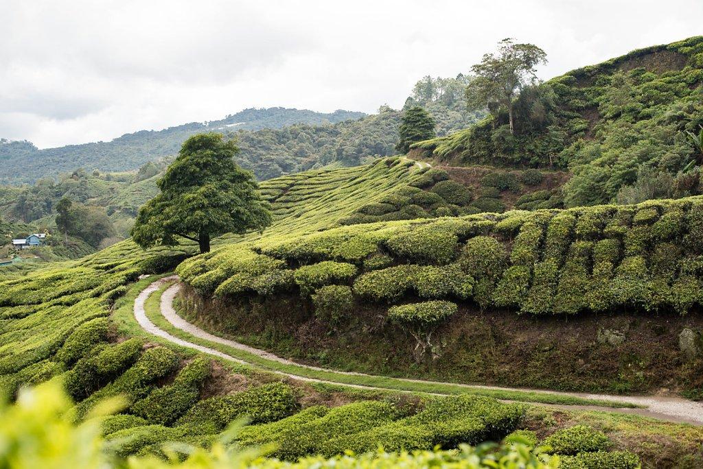 Cameron Highlands / Malaysia